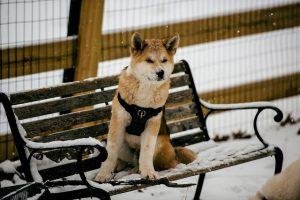 Akita Inu 秋田犬