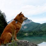 Shiba Inu Benkai -Österreich Langbathseen