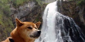 Benkai ein Shiba Inu am Gollinger Wasserfall